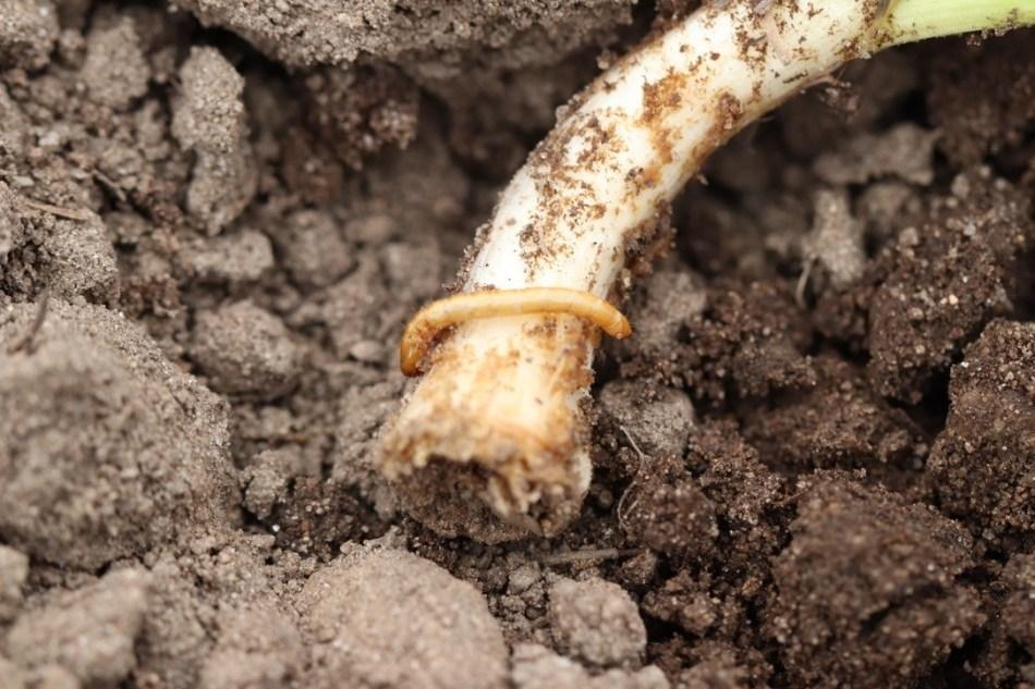 garlic-wireworm