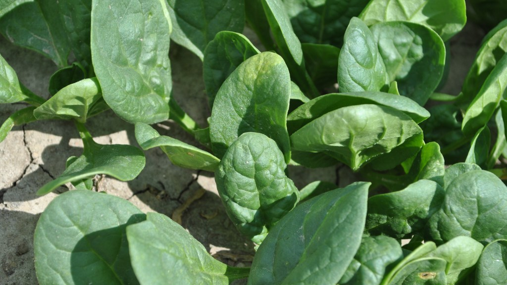 Spinach Downy Mildew