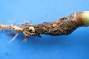 Cabbage maggot larval stage