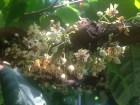 cocoa flowers