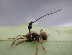 entomopathogenic_fungi