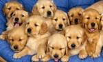 golden-retreiver-puppies-580x348