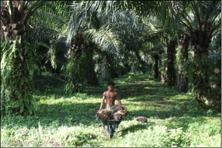 The Indonesia's Primary Palm Oil Producer - Farmlandgrab.org