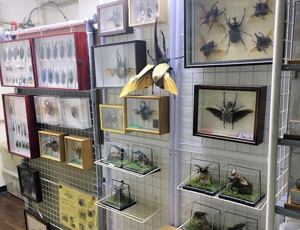 オオクワ京都昆虫館 店内展示品