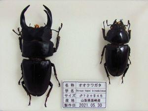 オオクワガタ♂72+♀45(クワガタ標本)c