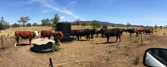 Craig uses a wagon wheel arrangement for watering his cattle. This means that the trough is in the centre, and the wheal spokes are electric fences. Each day the cattle move in to a new section