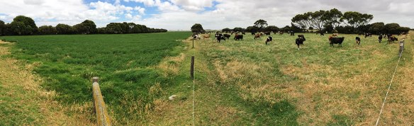 A flood irrigated lucerne paddock, before and after grazing by the dairy herd