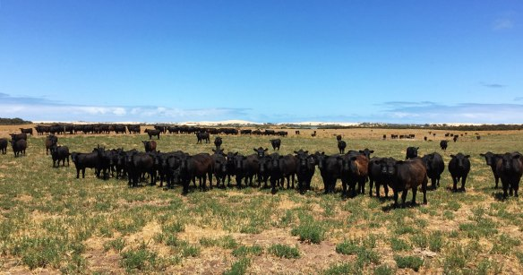 Angus steers being fattened on grass and lucerne
