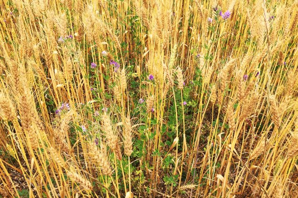 Lucerne understory in wheat
