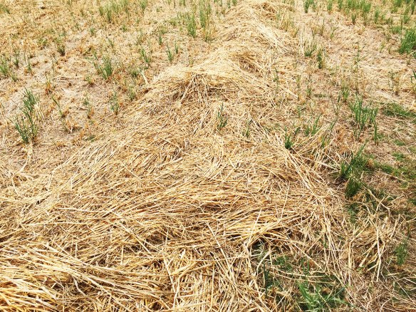 Phil's neighbour thinks he is mad. This is high quality oat & clover hay, but it is being left on the ground like this, where the cattle will graze it in situ. They apparently clean up every last bit, and it saves the cost of baling and muck spreading