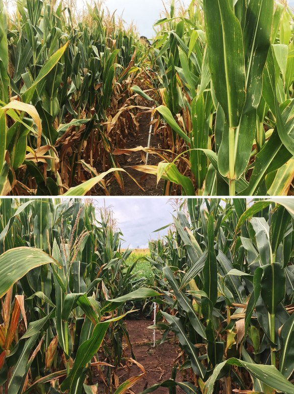 Top: continuous cropping. Bottom: 50% pasture rotation. In both photos, the plants on the left had 60kg/ha of N, on the right they had none