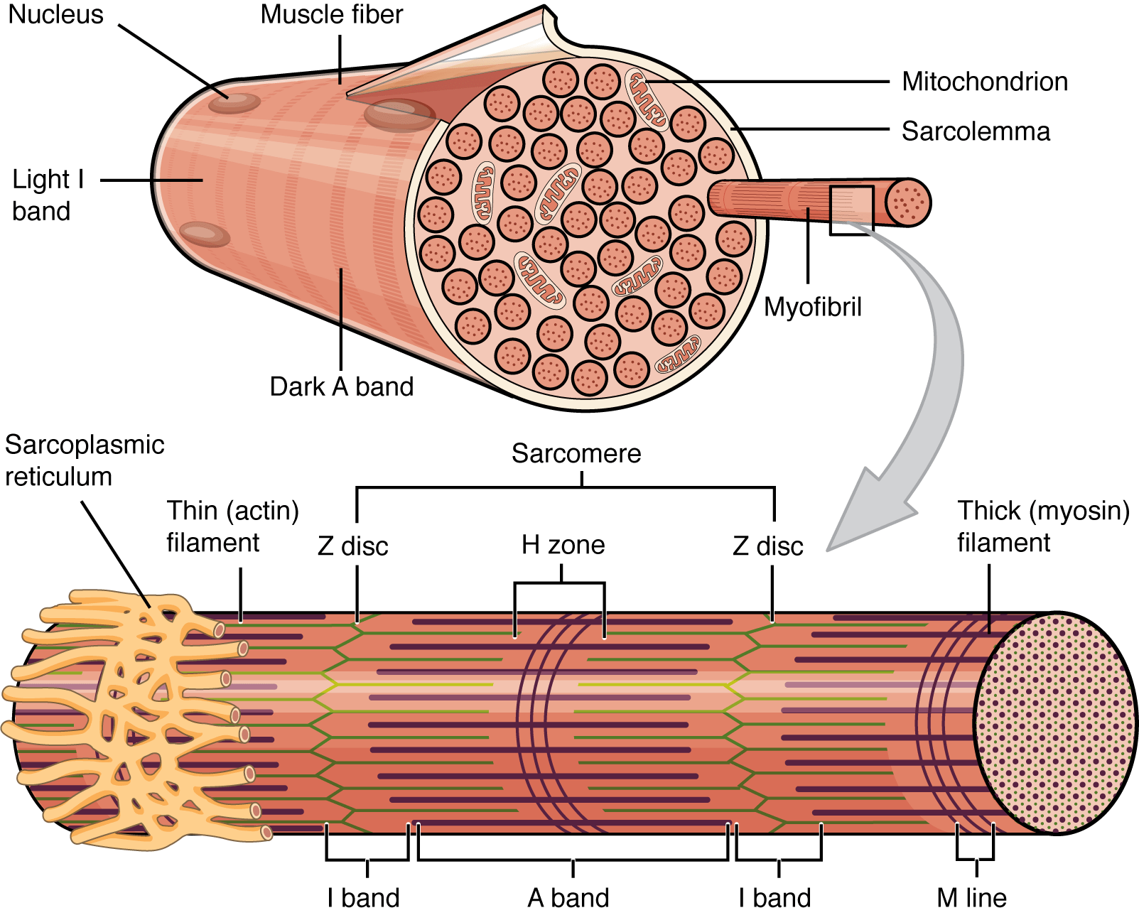 10 2 Skeletal Muscle Anatomy Amp Physiology