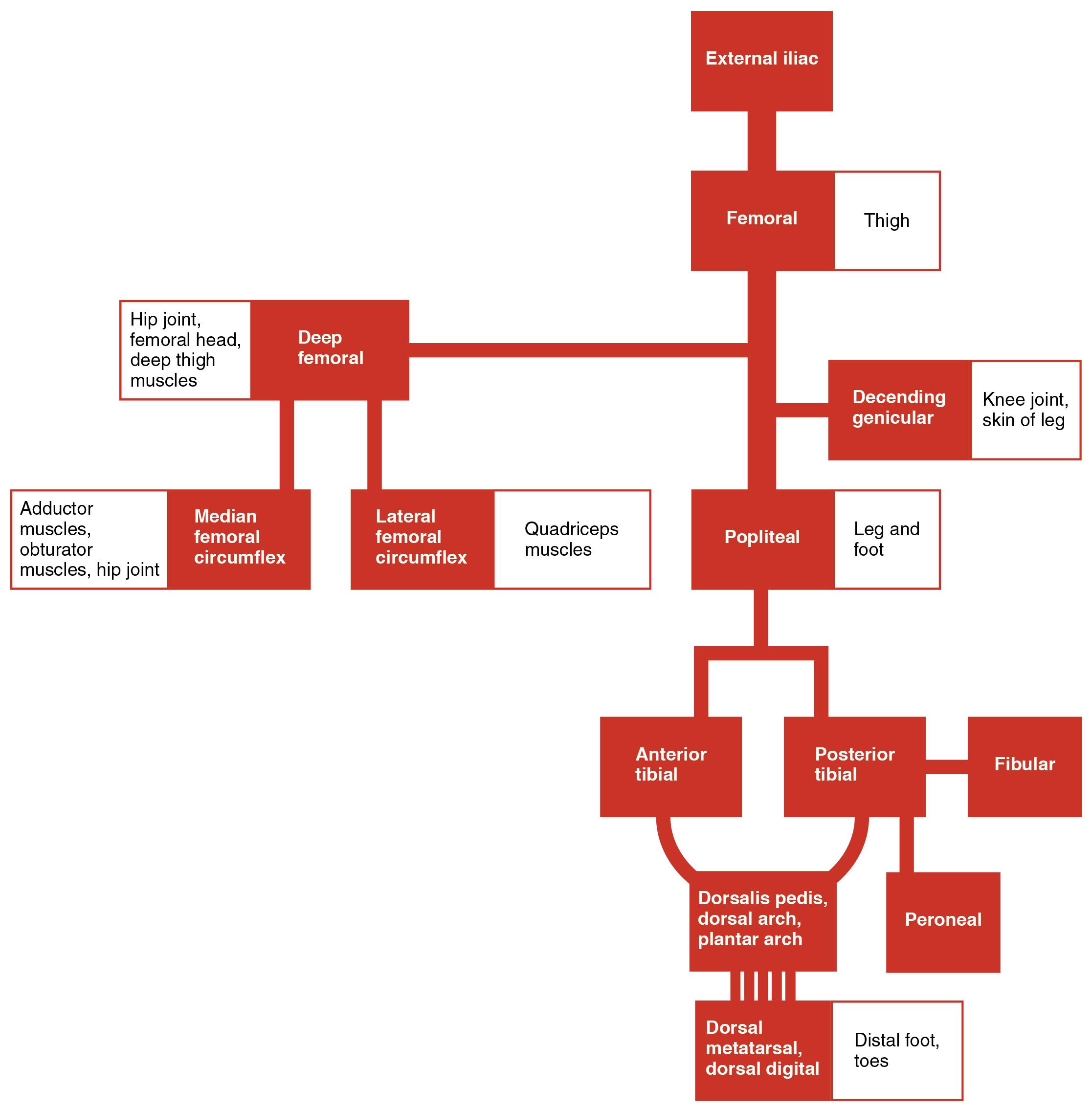 20 5 Circulatory Pathways Anatomy Amp Physiology