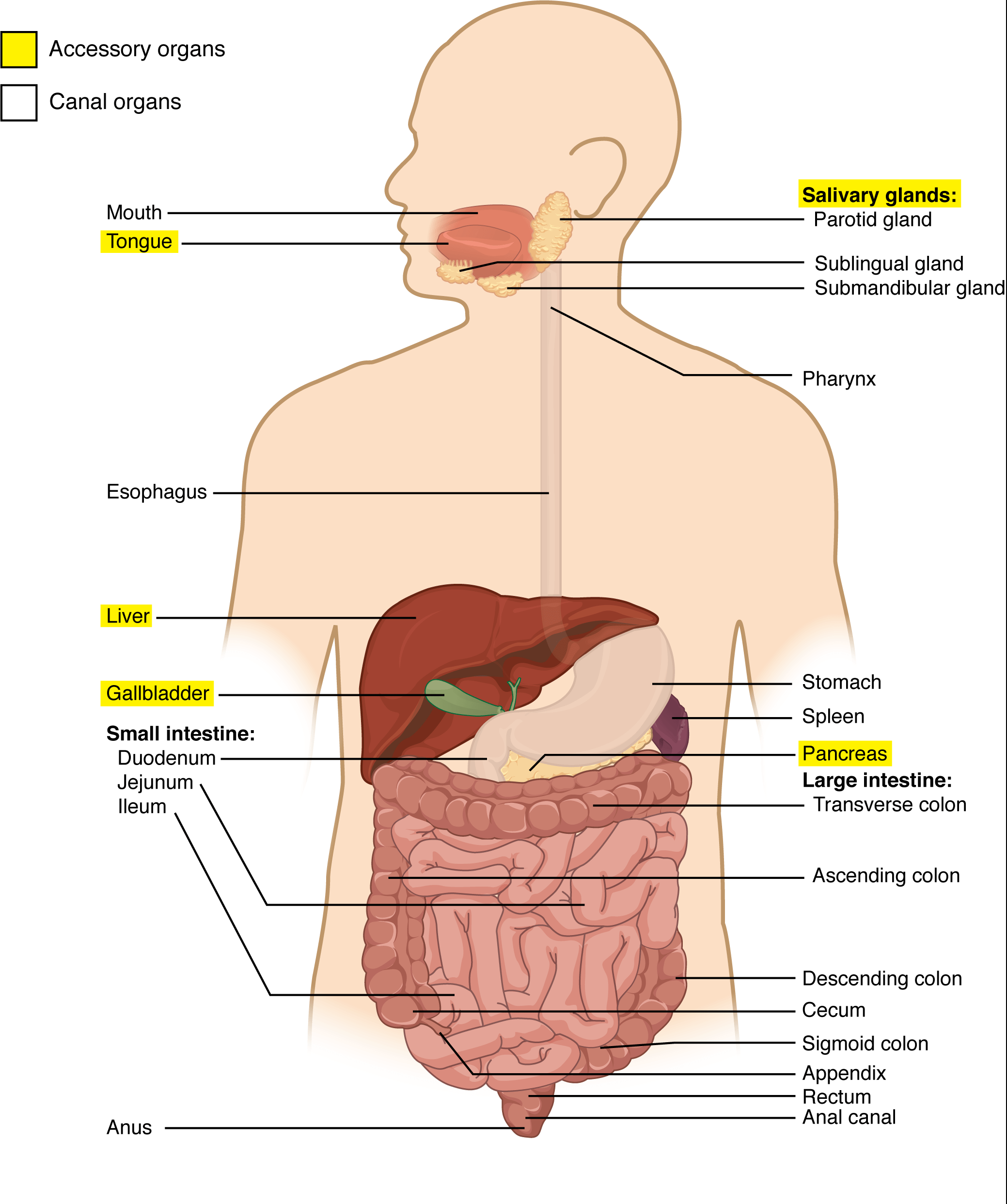 Body Systems Organs And Functions Quizlet