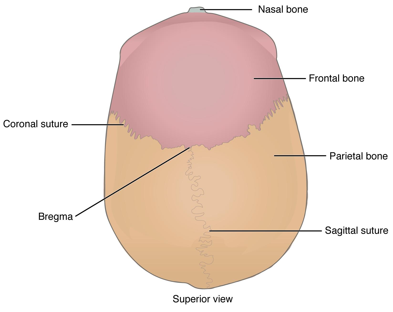 7 3 The Skull Anatomy Amp Physiology