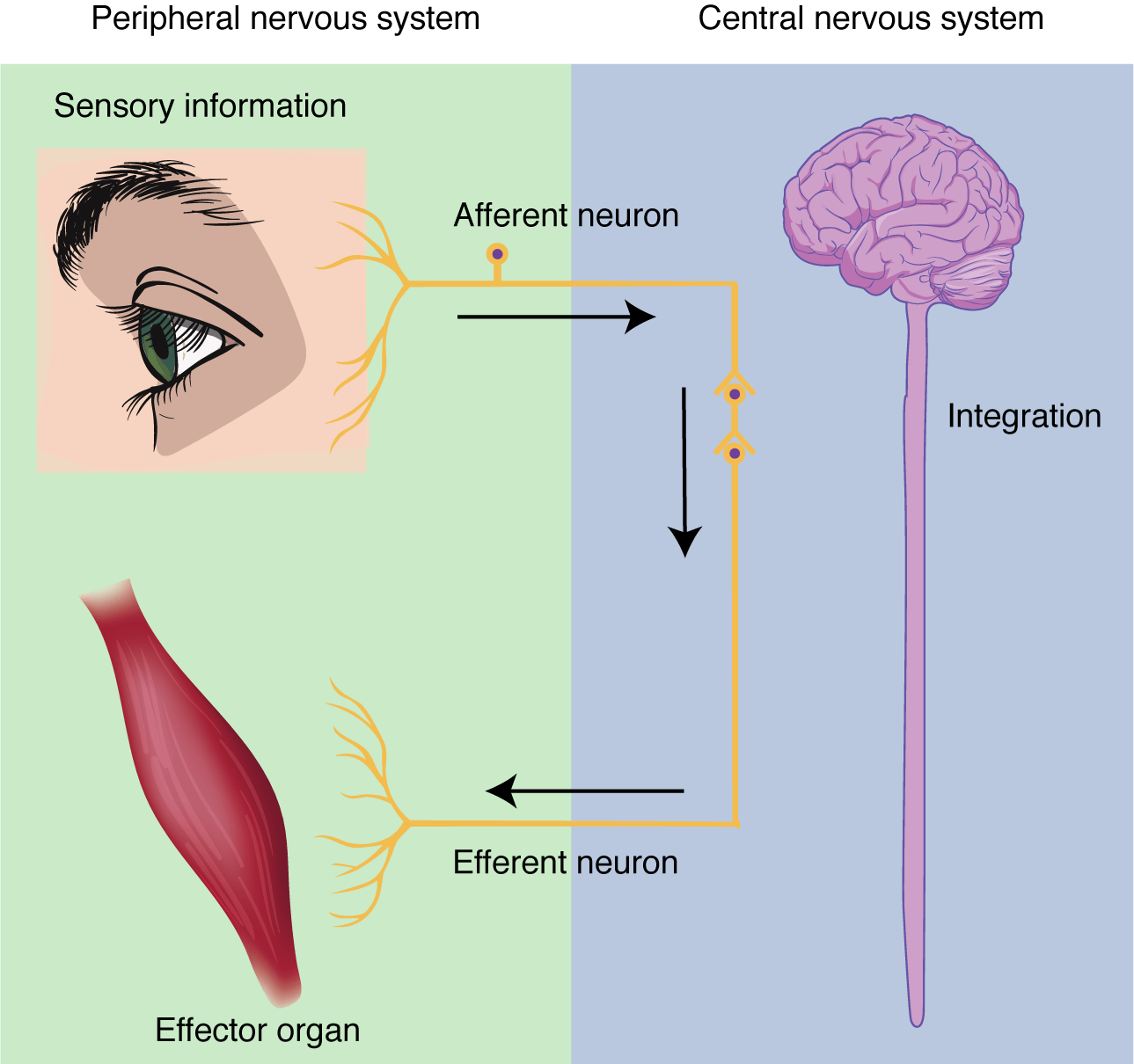 Chapter 7 The Nervous System Anatomy And Physiology