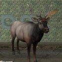 Deer Elk Animal
