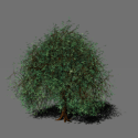 Mangrove Tree Free 3d Model