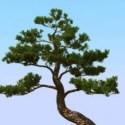 شجرة الصنوبر اليابانية