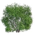 Large Evergreen Shrubs