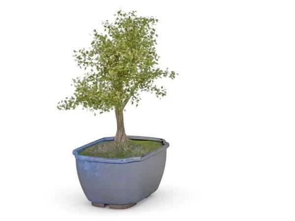 Bonsai Tree In Blue Pot