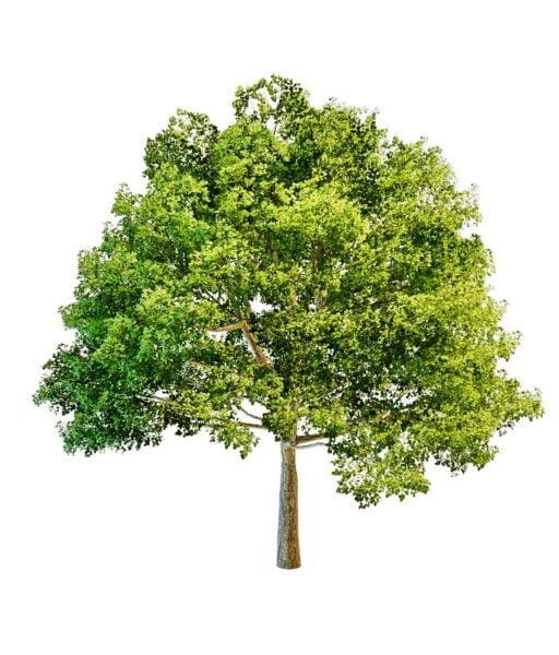 Big Front Yard Tree
