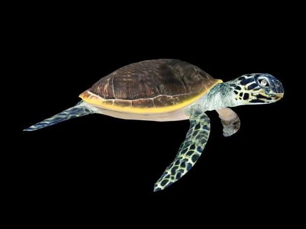 Animal Green Sea Turtle