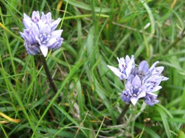 spring squill