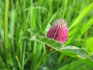 Red Clover (Trifolium pratense) - Bosloe, River Helford: 10th May 2014