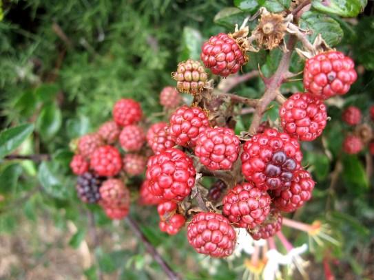 Bramble/Blackberry (Rubus fruticosa spp.) - Polzeath: 25th August 2014