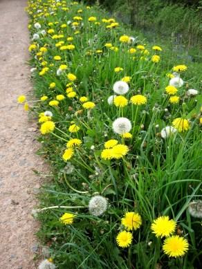 dandelions on Black Hill