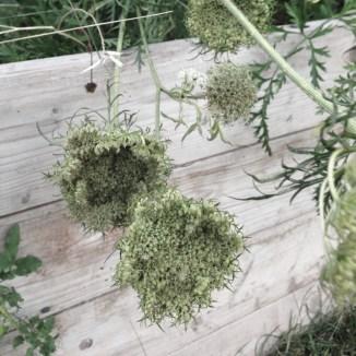Gulerodsblomster / Carrot flowers