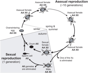 Annual lifecycle of the pea aphid and ploidy levels fo