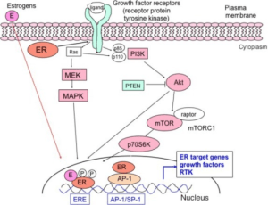 A schematic diagram of estrogen receptor (ER) signaling