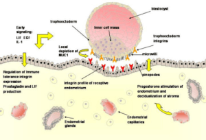 A schematic representation of a blastocyst approaching
