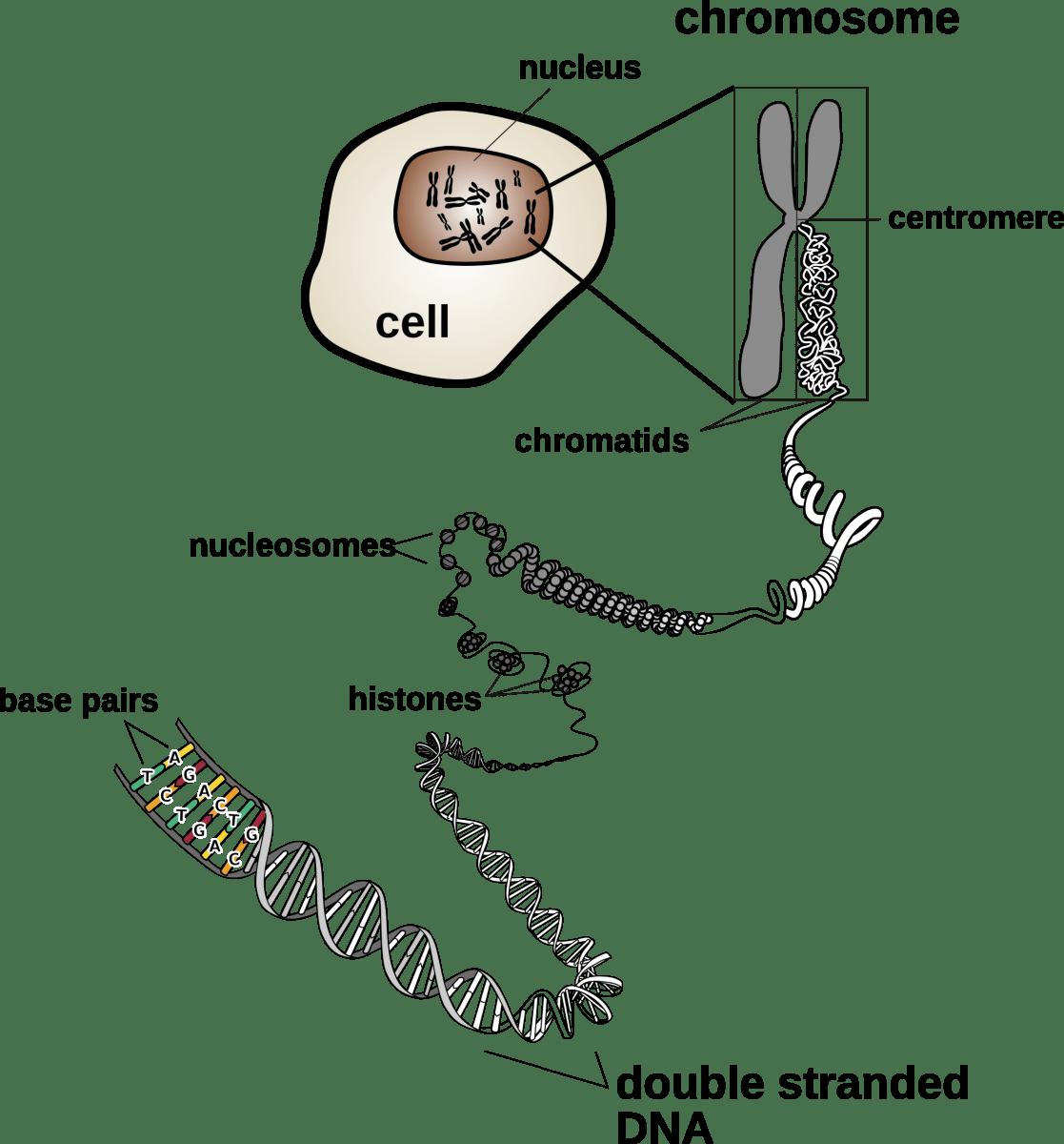 Chromosomes And Karyotypes