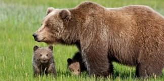 daniza orso