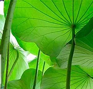 foglie di loto