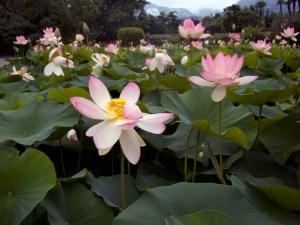 insieme di fiori di loto