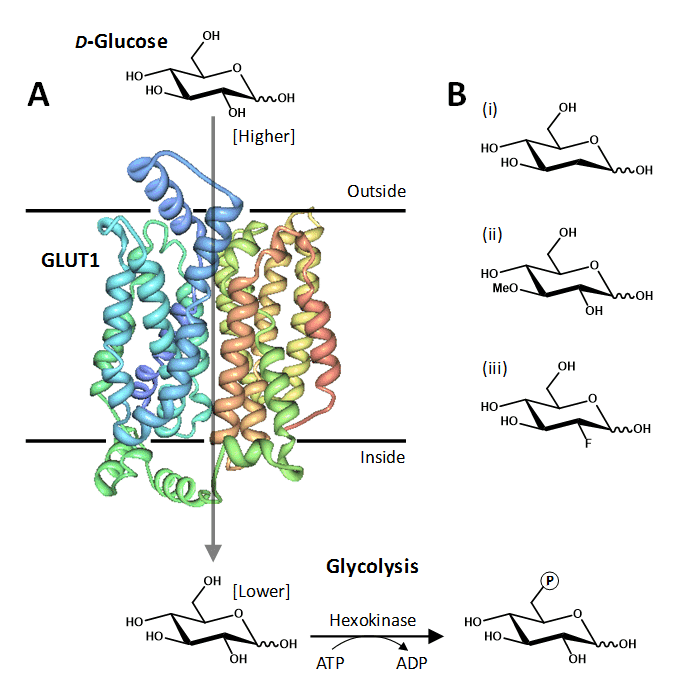 Figure 1 shows the human facilitative glucose transporter protein GLUT1