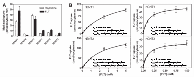 Figure 5. Uptake of FLT by human nucleoside transporters. A.