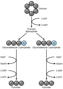 Aerobic Respiration, Part 1: Glycolysis – Principles of Biology: Biology 211, 212, and 213