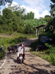 A herd of water buffalo cross the road as a couple on a motorcycle waits
