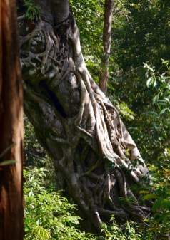 Tree being choked by a strangler fig