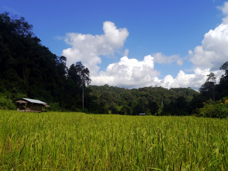 Wooden shack in the rice fields