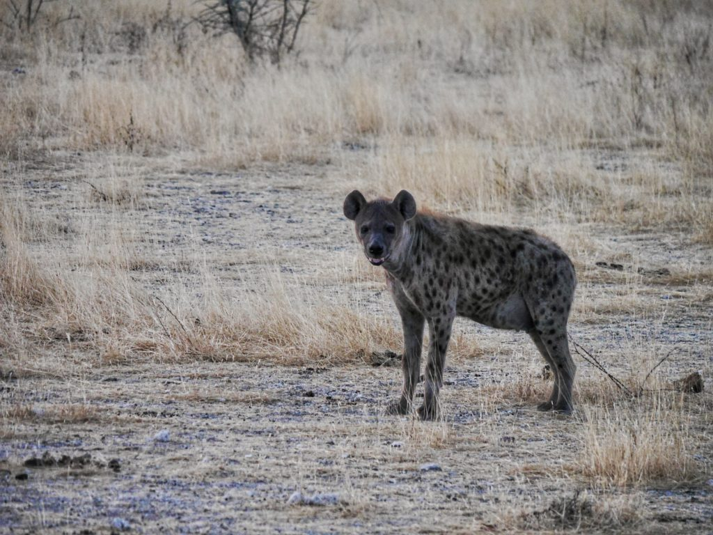 Hyena in Etosha National Park