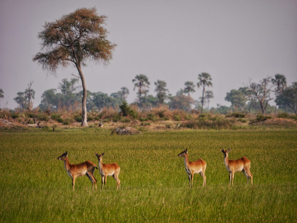 Reedbucks in the Okavango