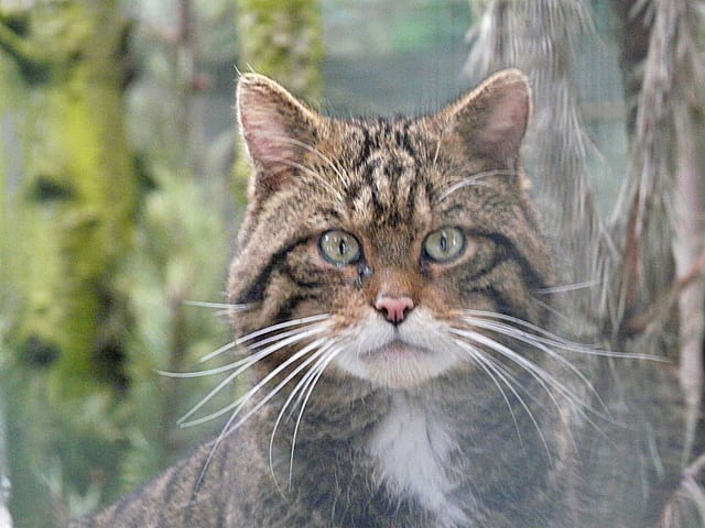 Scottish wildcat. Pic credit: Sylvia Duckworth