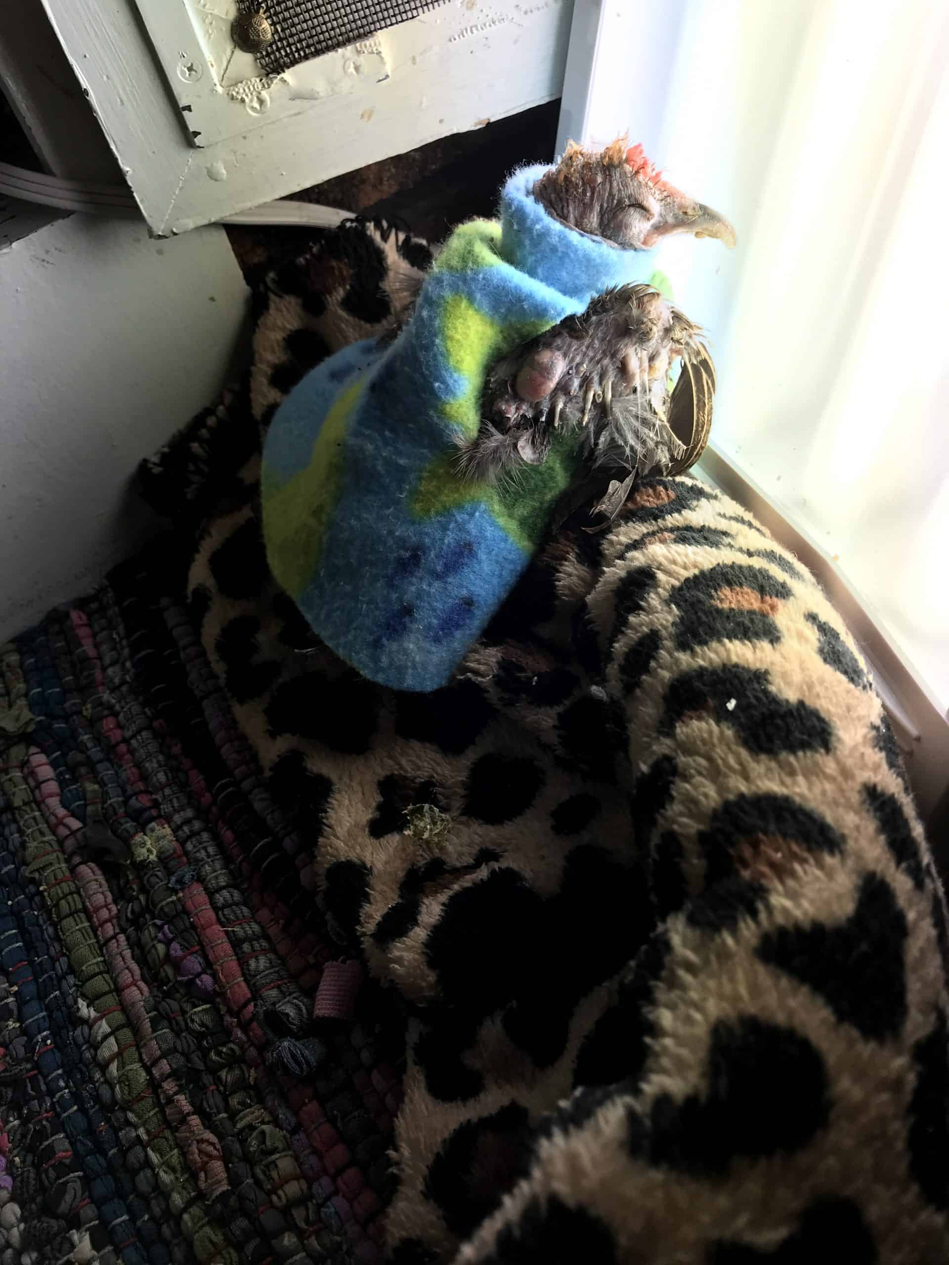 A small, almost featherless hen sits with her eyes closed on a rolled up plush blanket, facing a happy light. She wears a soft frock that has a turtleneck design.