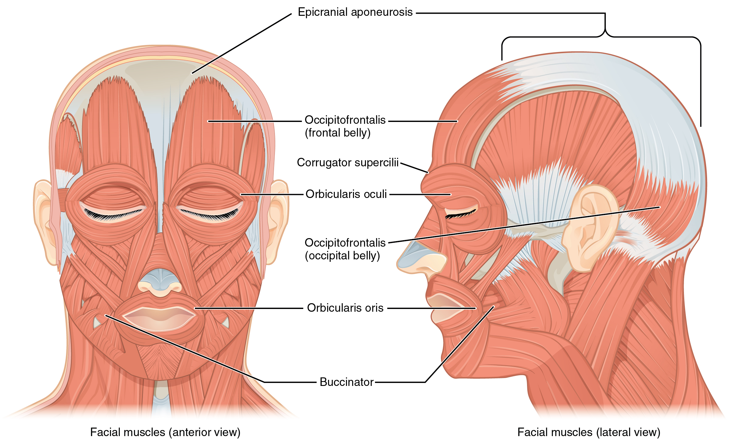 11 3 Axial Muscles Of The Head Neck And Back Anatomy